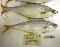 Two preserved fish on a white background