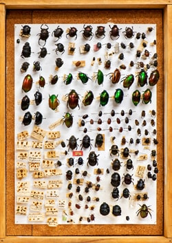 Scarab beetles pinned and lined up in a display cabinet
