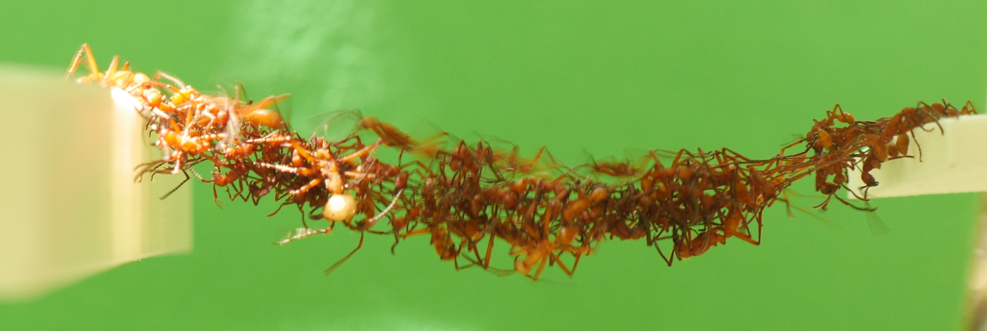 Ants Filmed Building Moving Bridges From Their Live Bodies