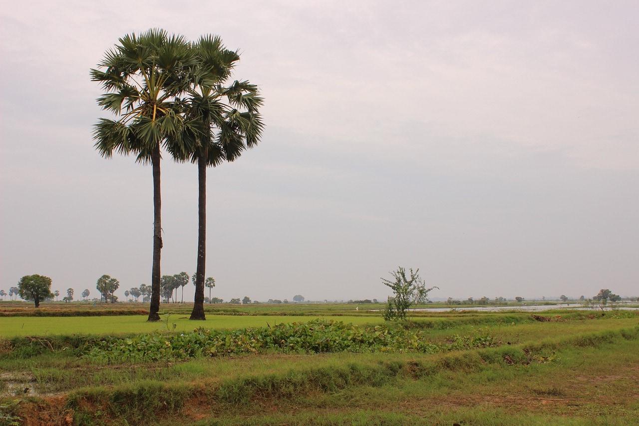 cambodfia field.