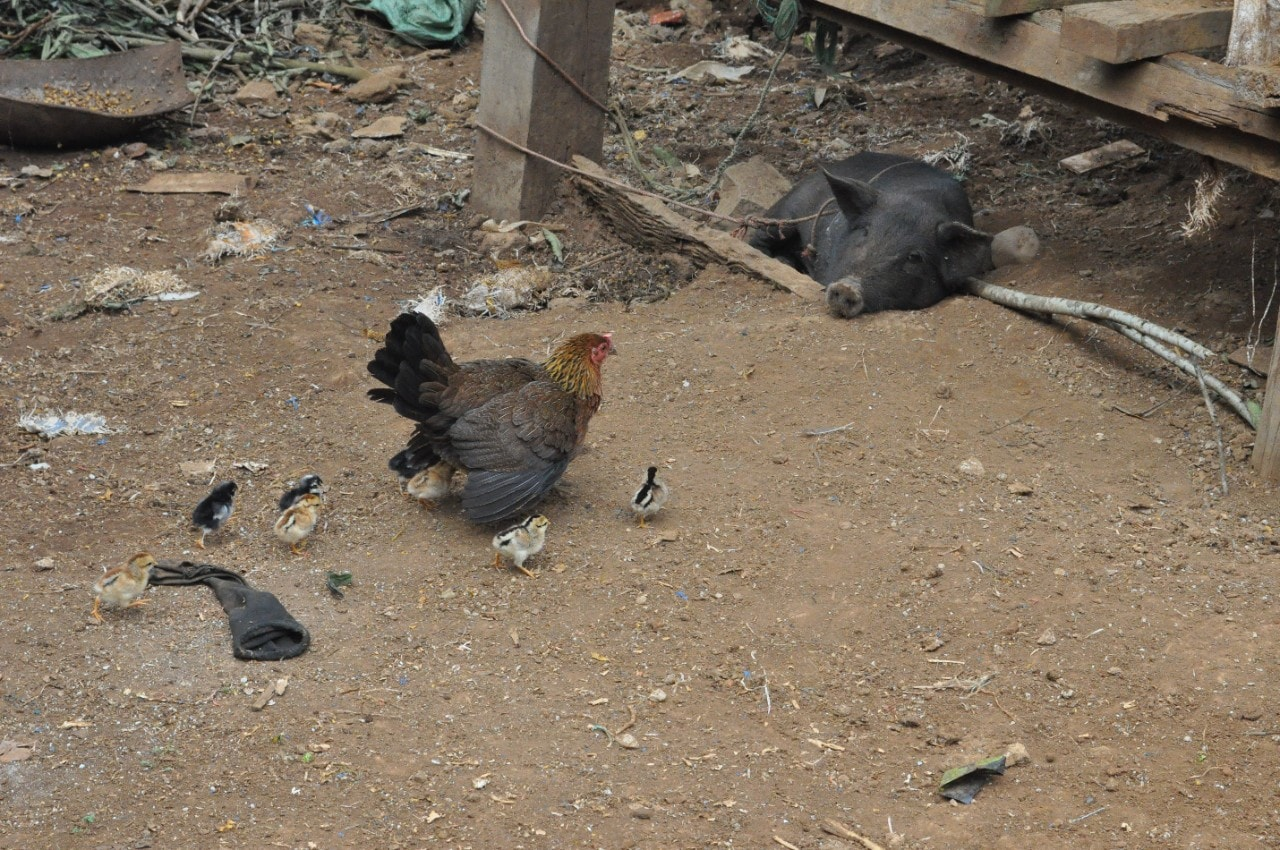 Free-ranging domestic chickens can interact with domestic pigs.