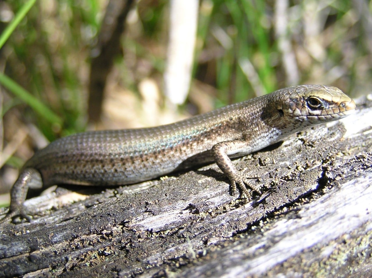 ,Southern grass skink (Pseudemoia entrecasteauxii). Photo: Jacquie Herbert