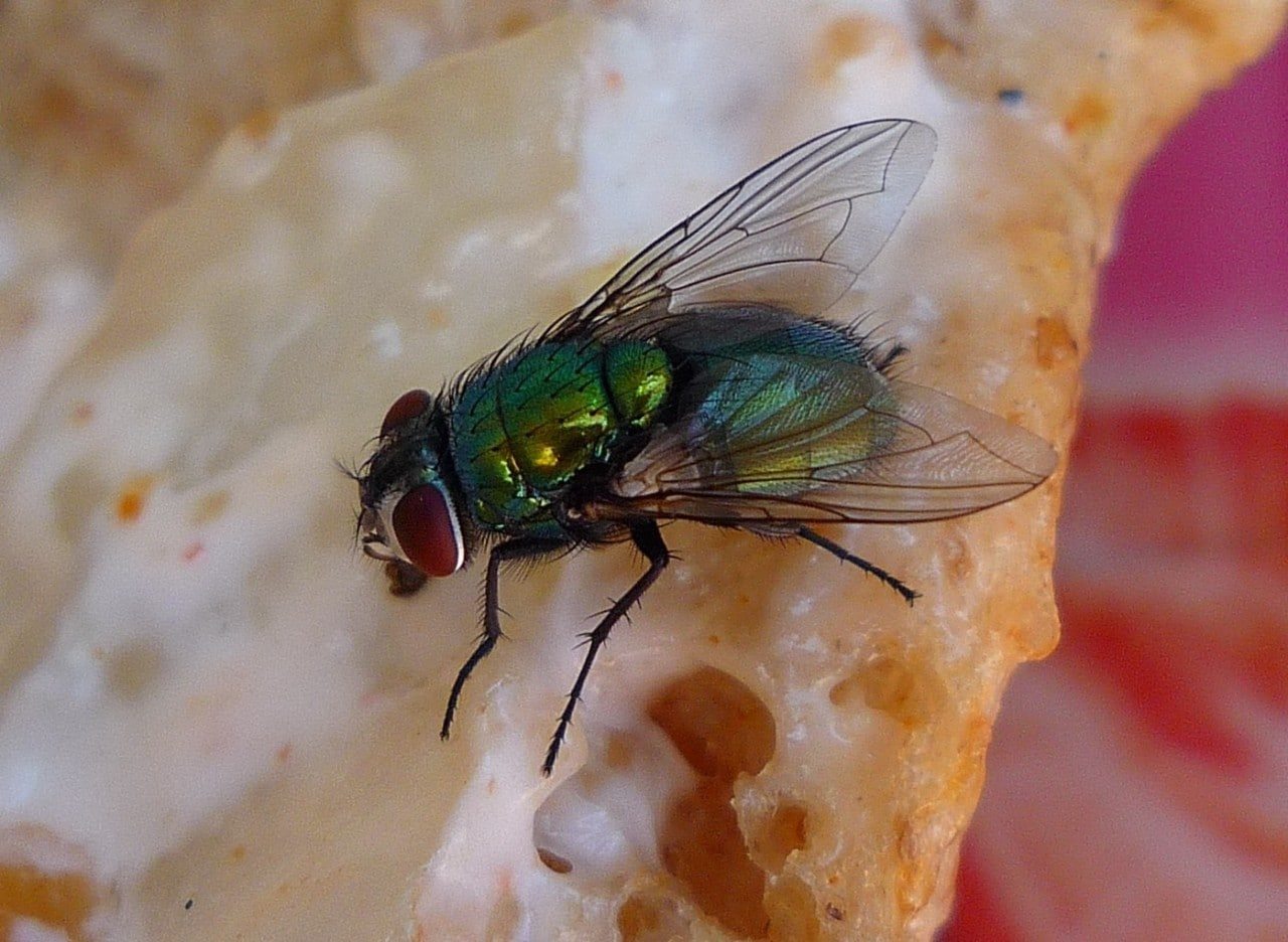 A fly eating bread