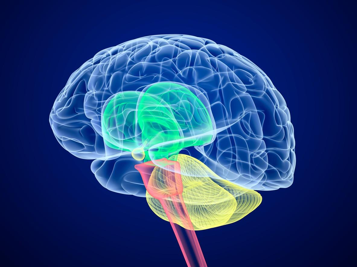Brain Structure Best Explains Our Dwindling Tolerance Of Risk The