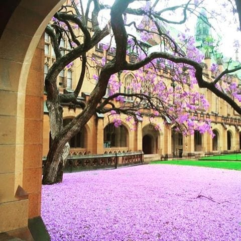 The jacaranda at the University of Sydney
