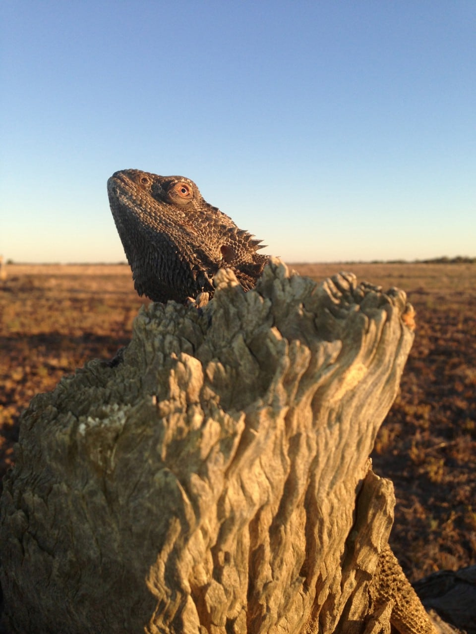 Lizard on stump tree
