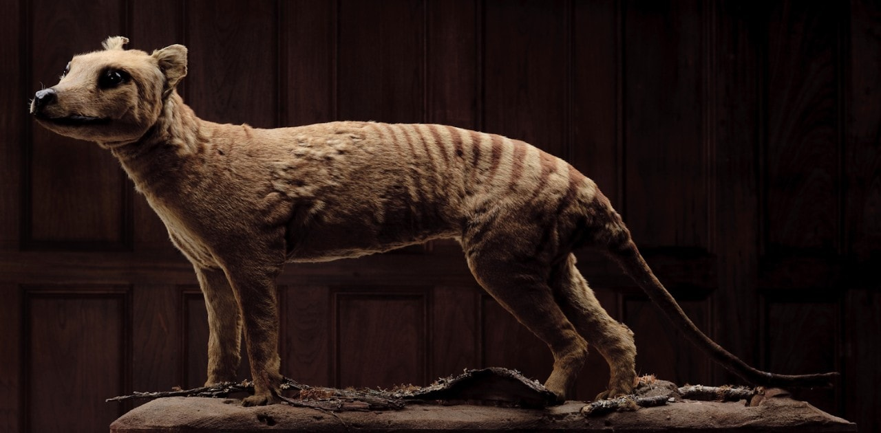 A taxidermied Tasmanian tiger, or thylacine