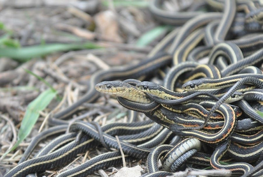 Researchers studied populations of red-sided garter snakes in Manitoba, Canada over the breeding season. Credit Christopher R Friesen.
