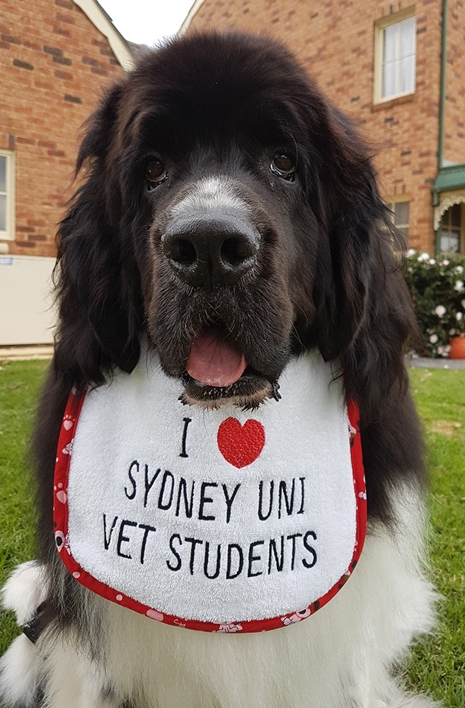 "Ruggles at home with a bib that says ""I love Sydney Uni vet students""."