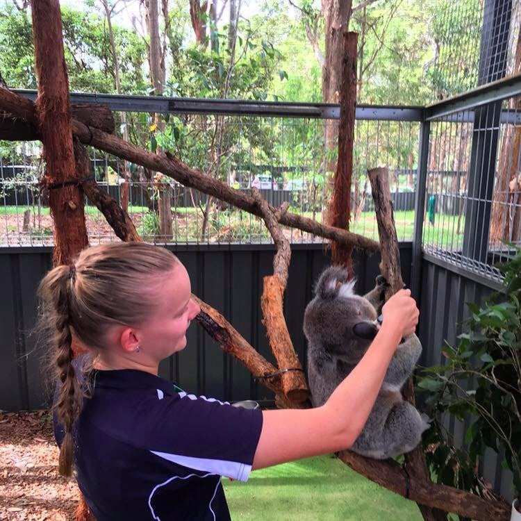 Sarah Houseman feeding a koala that is sitting in a tree in an outdoor enclosure at a koala hospital.