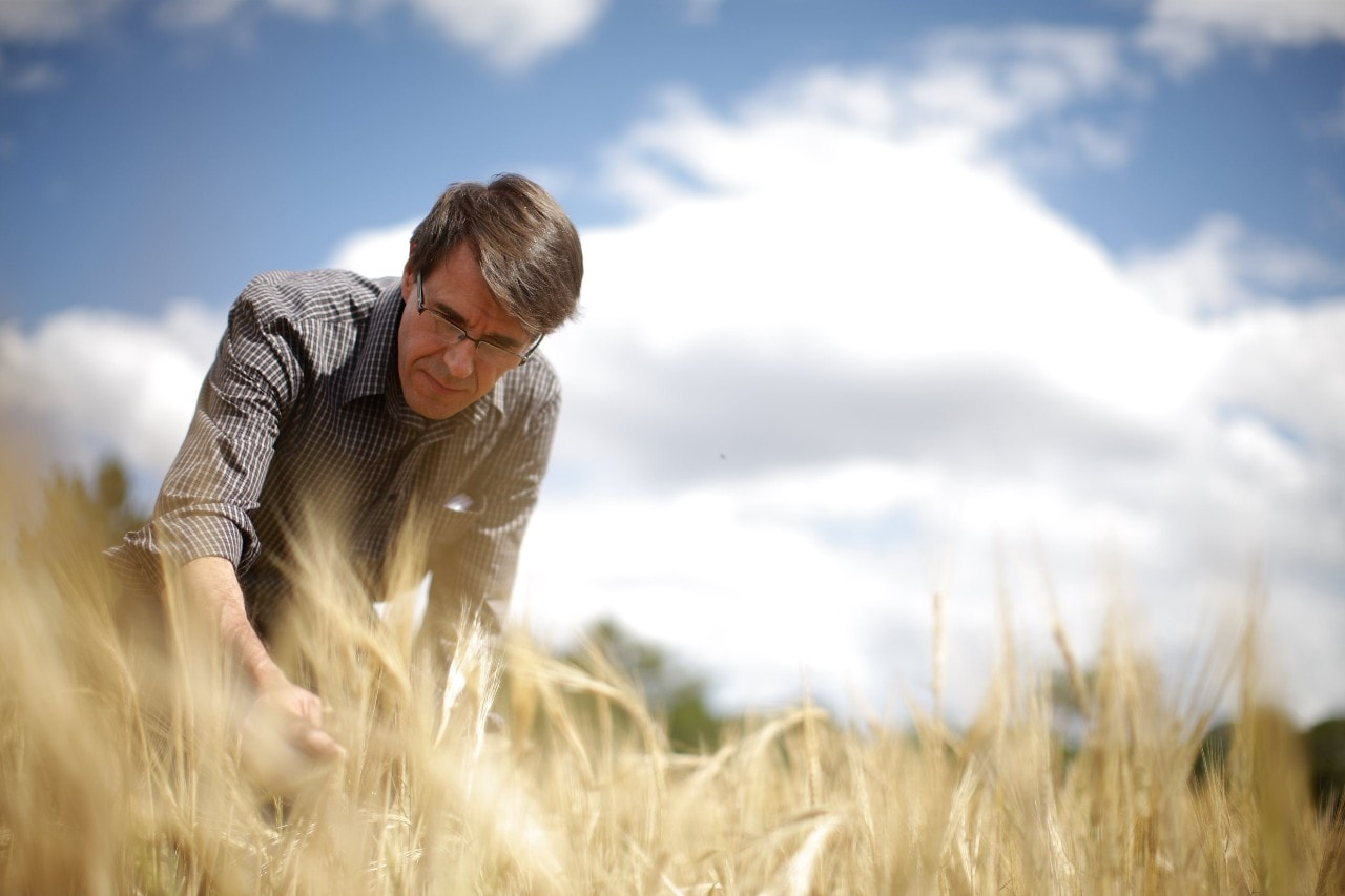 Professor Robert Park inspecting wheat.