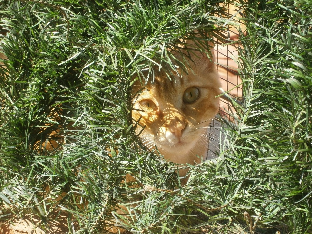 A cat peers out from a shelter, surrounded by grass.
