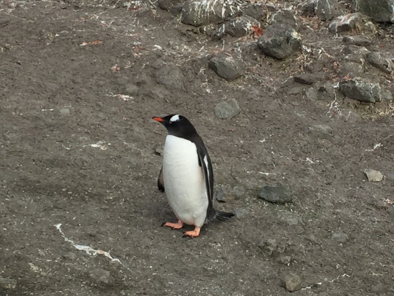 A Gentoo penguin posing at Barrentos Island.