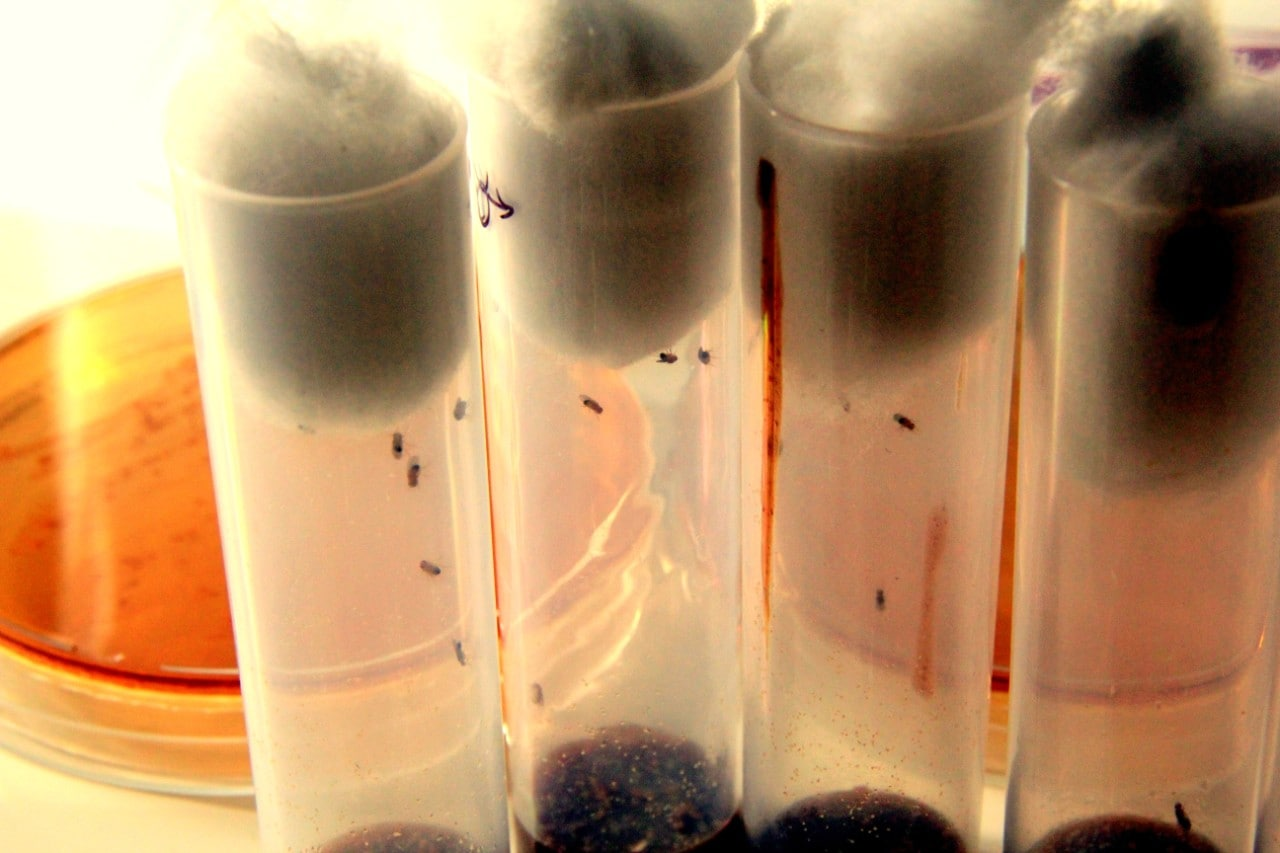 A photo of flies in test tubes in a laboratory situation