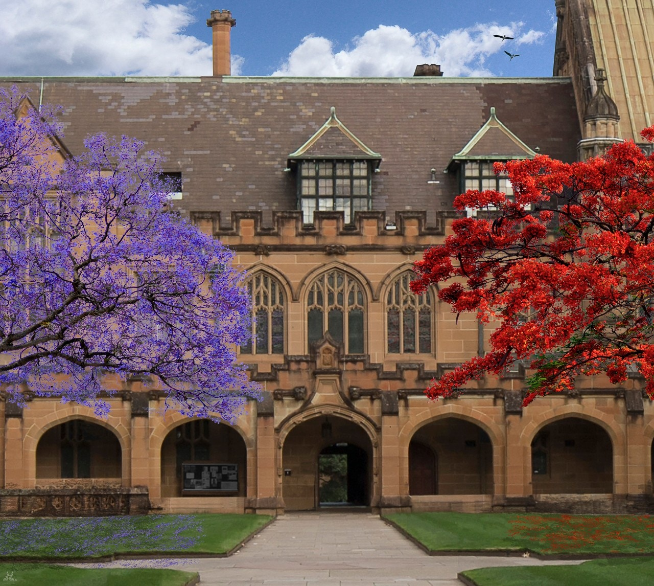 Artist's impression of the jacaranda tree and flame tree in bloom. Credit: The University of Sydney.