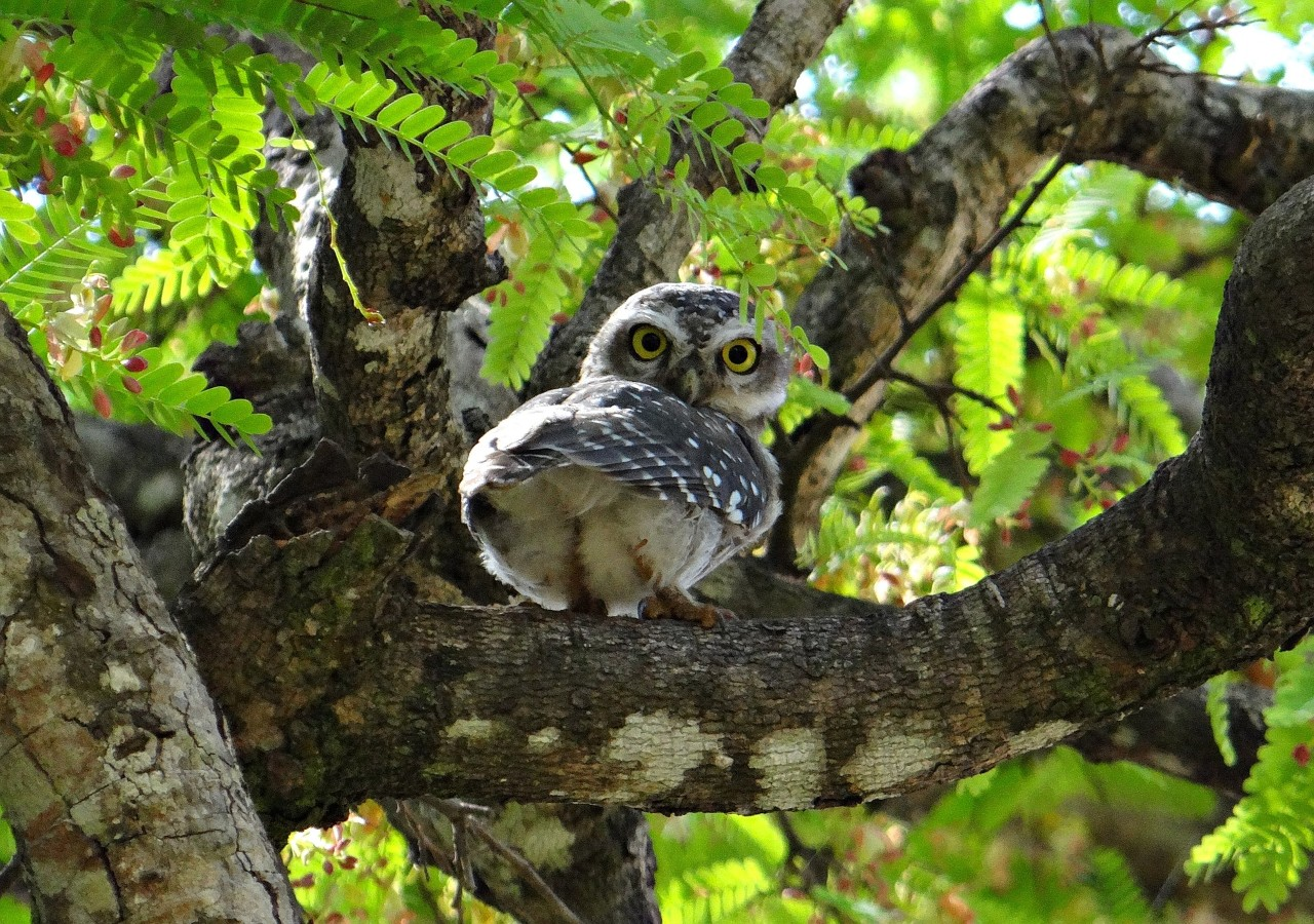 A spotted owl sits on a tree.