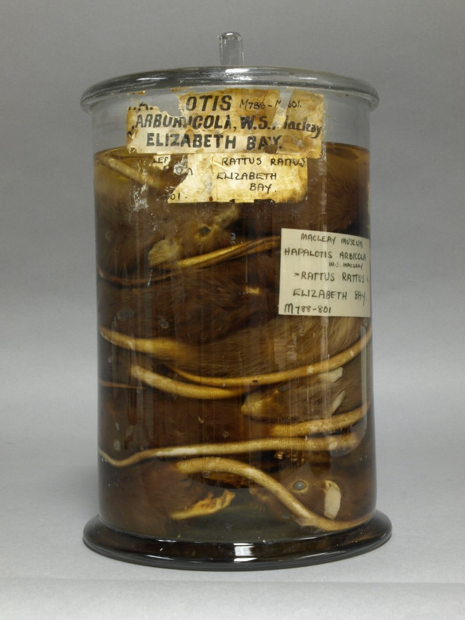 The Macleay Museum's jar of rats.