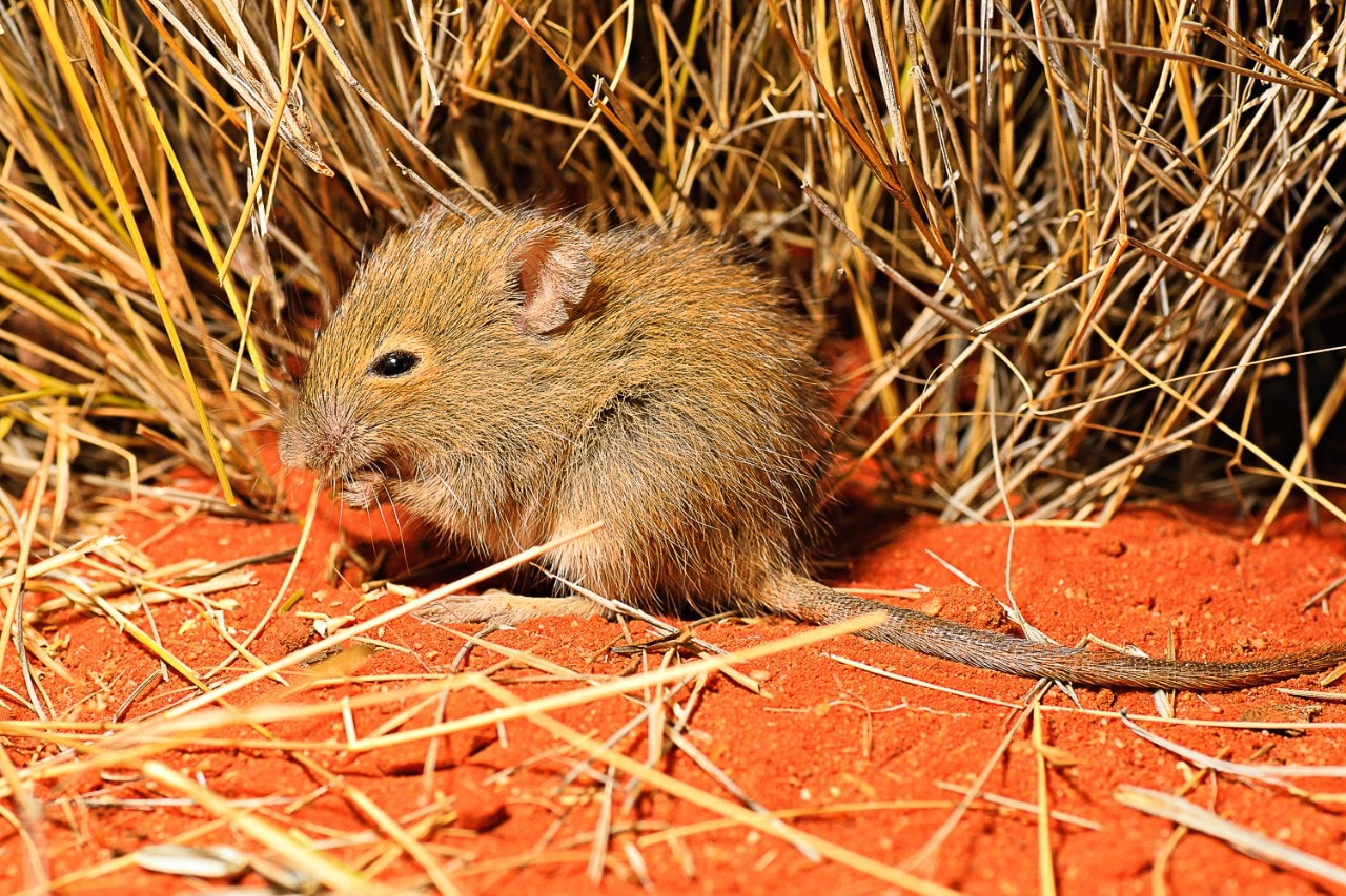 The desert mouse, Pseudomys desertor, is listed as Critically Endangered in NSW but not in Queensland. It is one of the species of rodents we capture as part of our work. Photos taken in the Simpson Desert; credit Aaron Greenville.