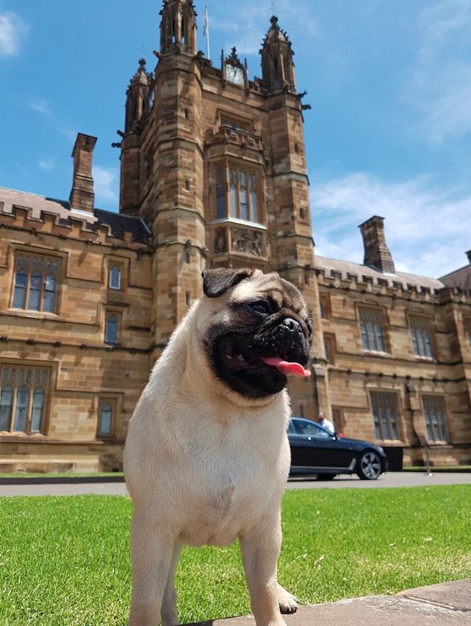 Chicken the dog in front of the Sydney Quadrangle