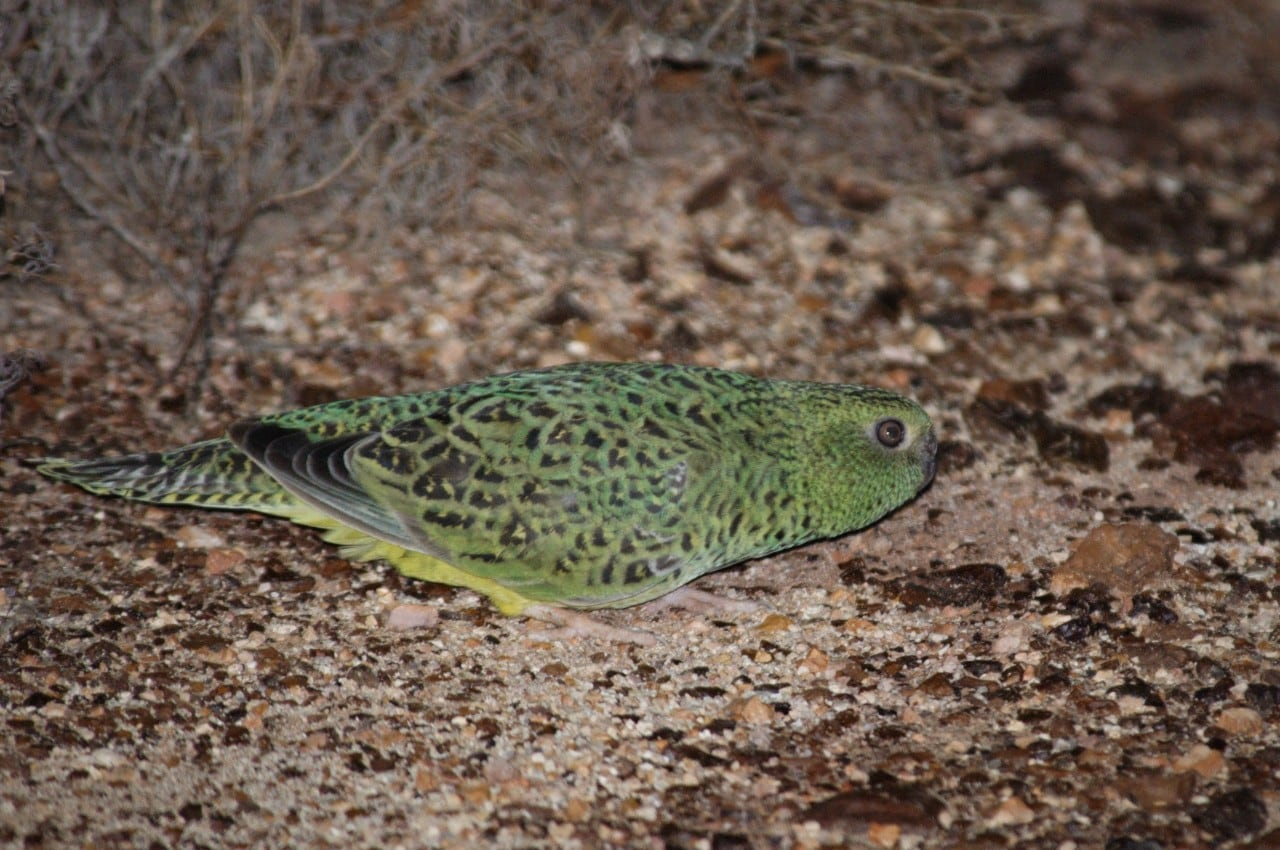 Exact population locations of Australia's night parrot (Pezoporus occidentalis), recently rediscovered in the arid zone of Australia, were kept secret; however historical published data is helping conservation managers to understand the species better. Credit Nicholas P. Leseberg.
