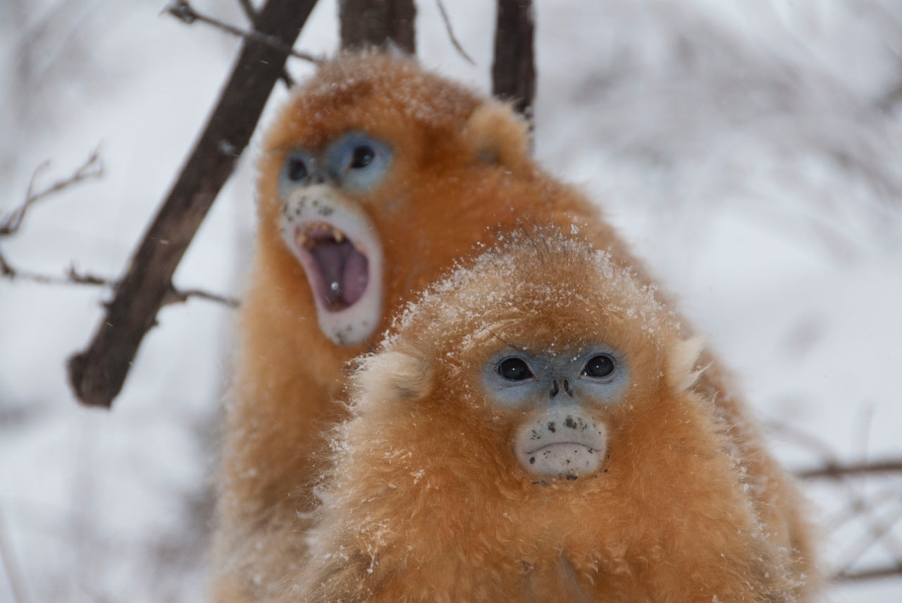 Golden snub-nosed monkeys in winter, in China's Quinling mountains