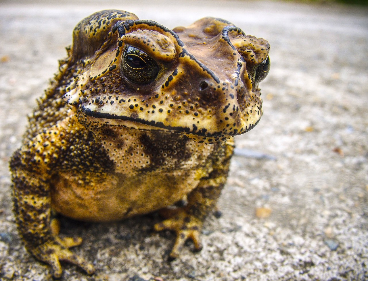 cane toad genome sequenced for the first time