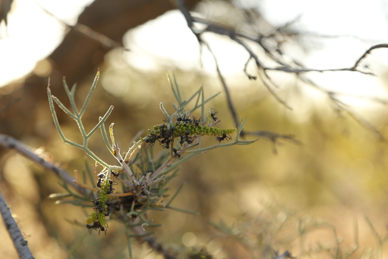 Black tyrant ants on a hakea
