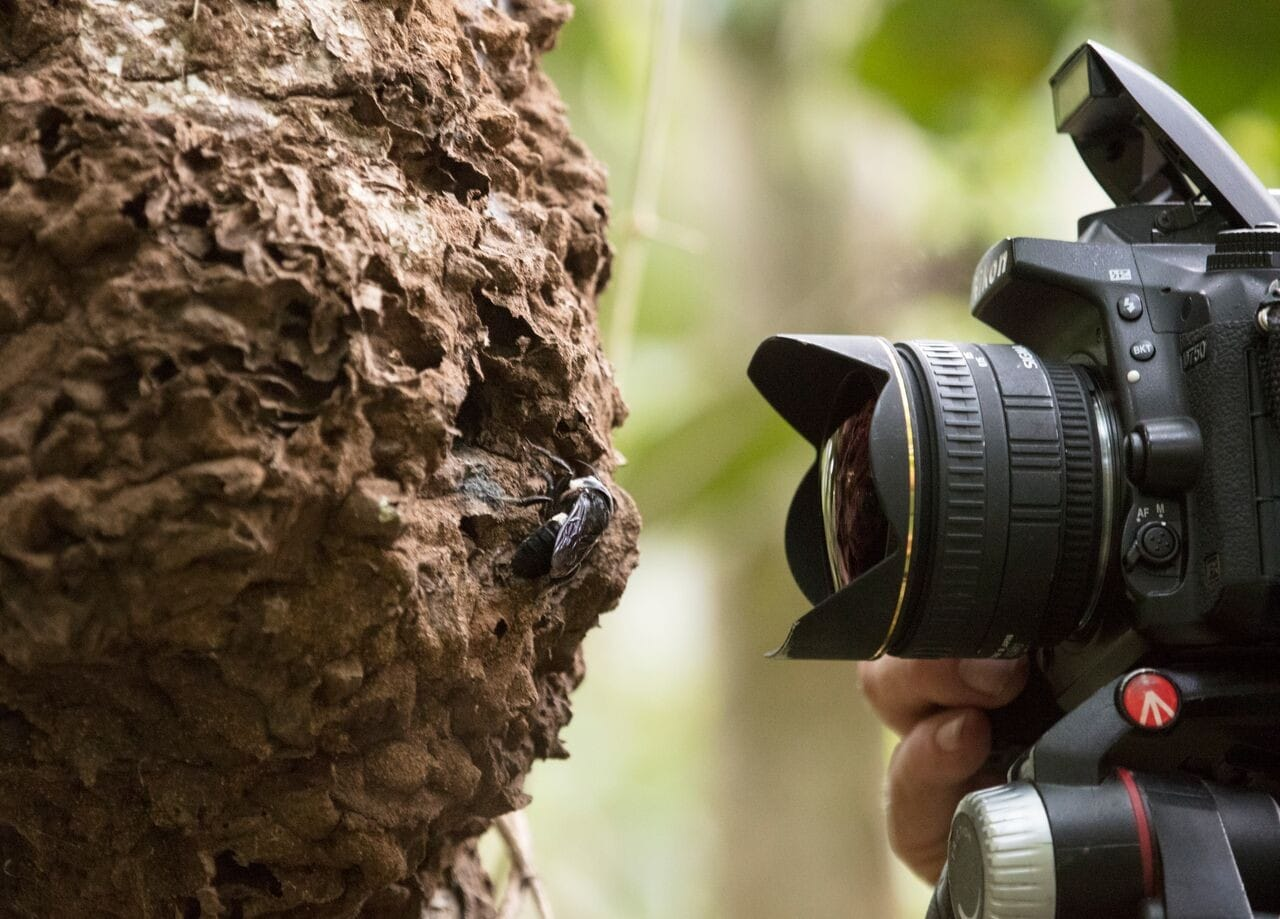 Natural history photographer Clay Bolt makes the first ever photos of a living Wallace's giant bee at its nest, which is found in active termite mounds in the North Moluccas, Indonesia. © Simon Robson