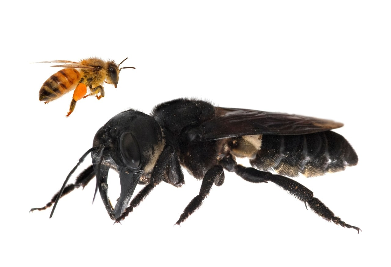 Image (composite): Wallace's giant bee dwarfs the common honey bee in size. © Clay Bolt | claybolt.com
