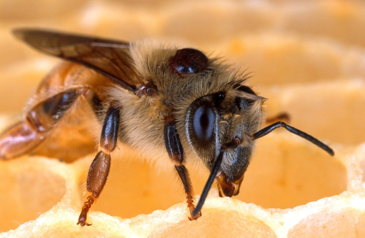 Honey bee with Varroa mite parasite.
