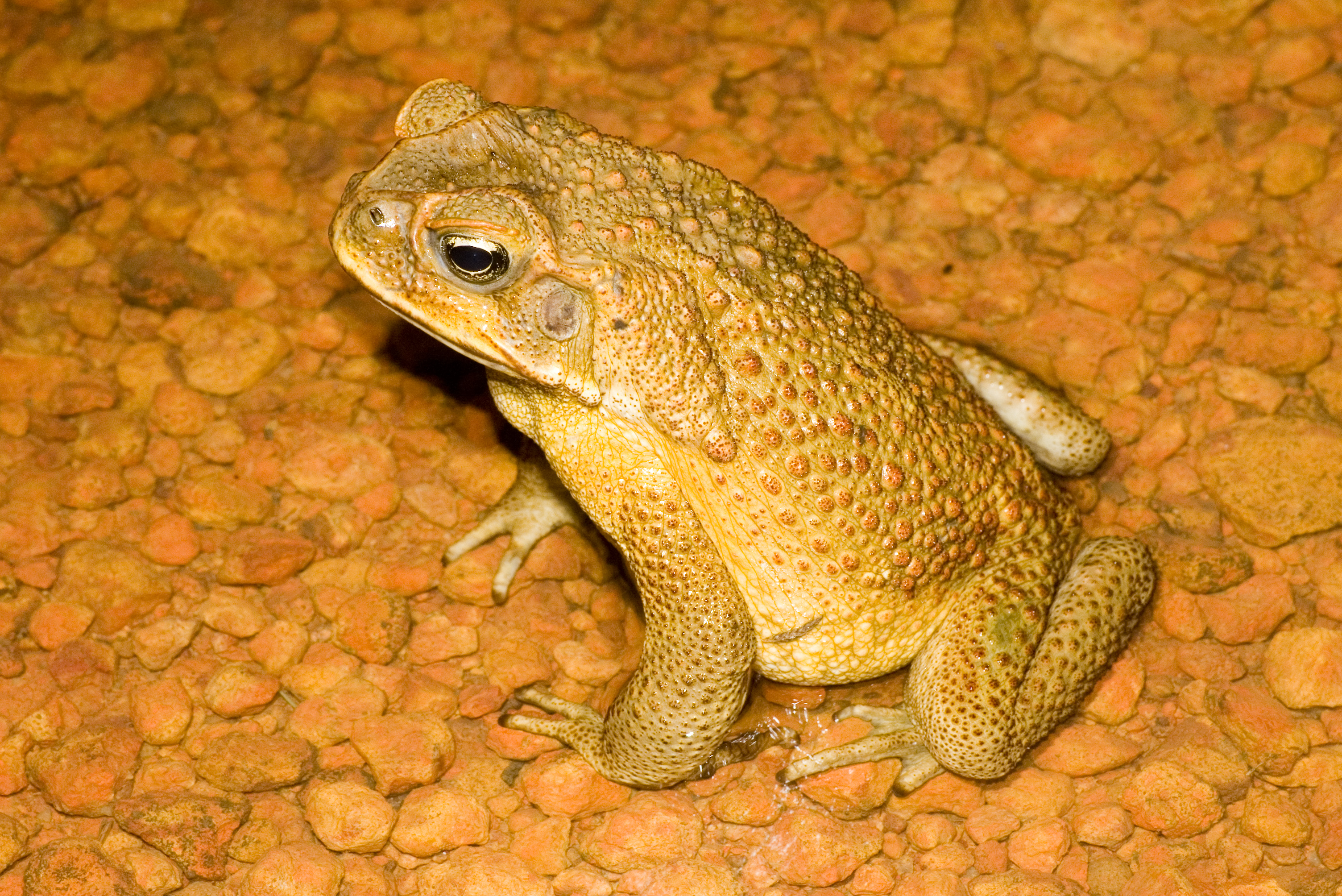 A male cane toad. Photo: David Nelson