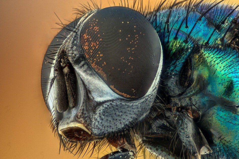 close up image of a fly's eyes