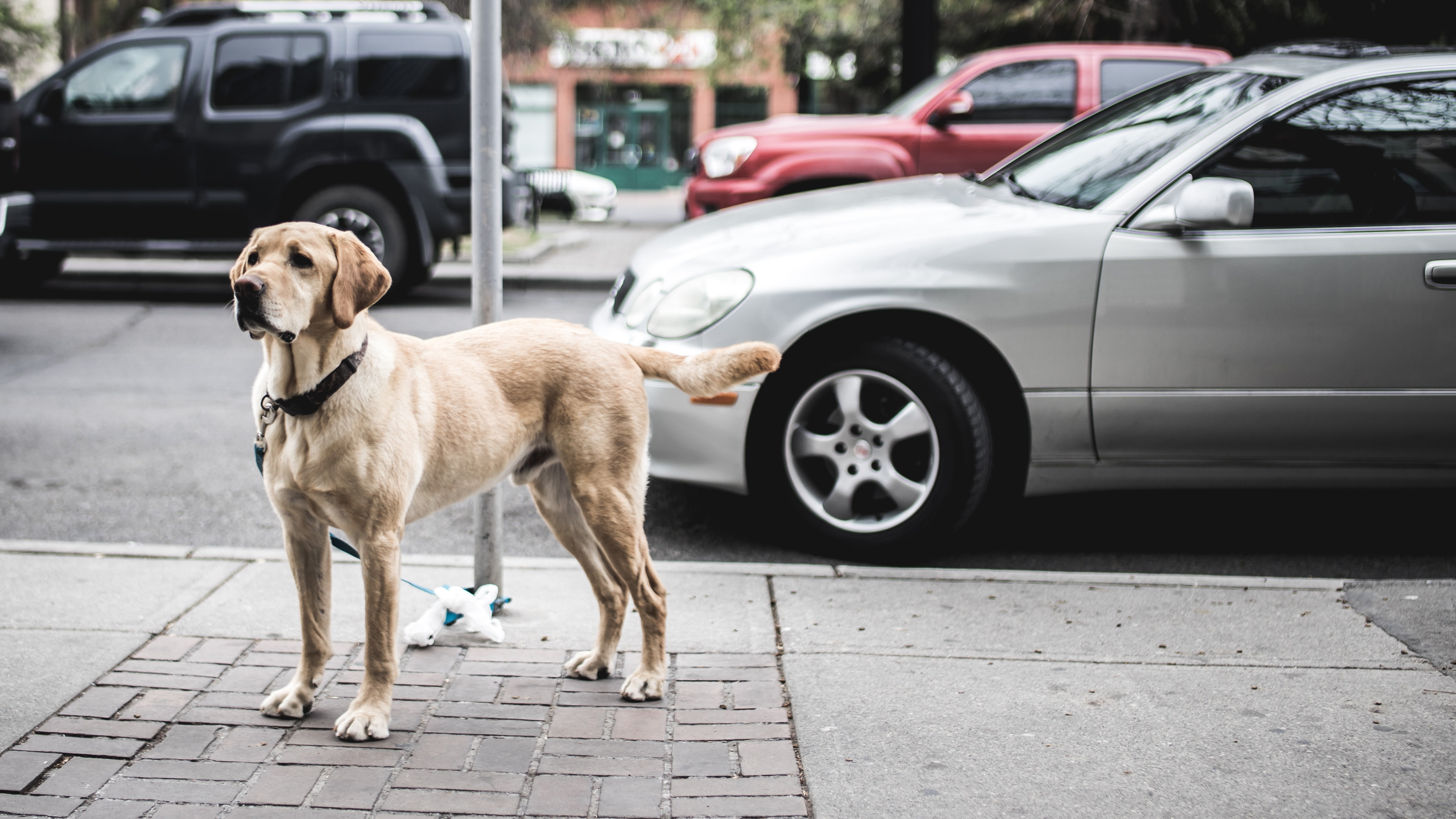 A dog on a lead tied to a pole waiting for its owner.