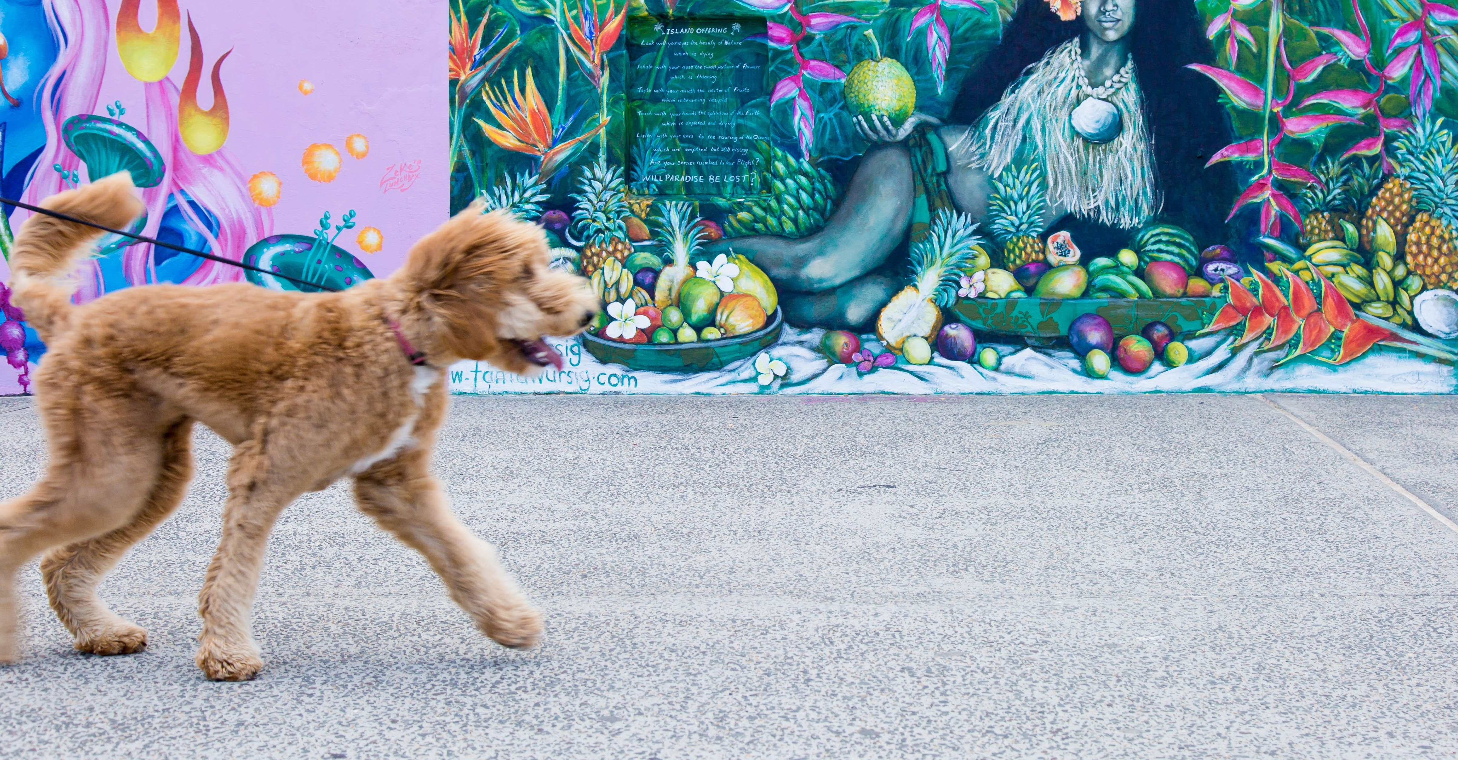 A dog walking along a street on a lead with a graffiti wall behind it