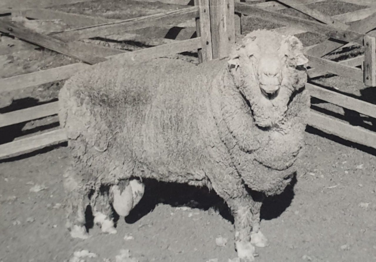 'Sir Freddie', one of the rams whose sperm was frozen in 1968. Courtesy of the Walker family