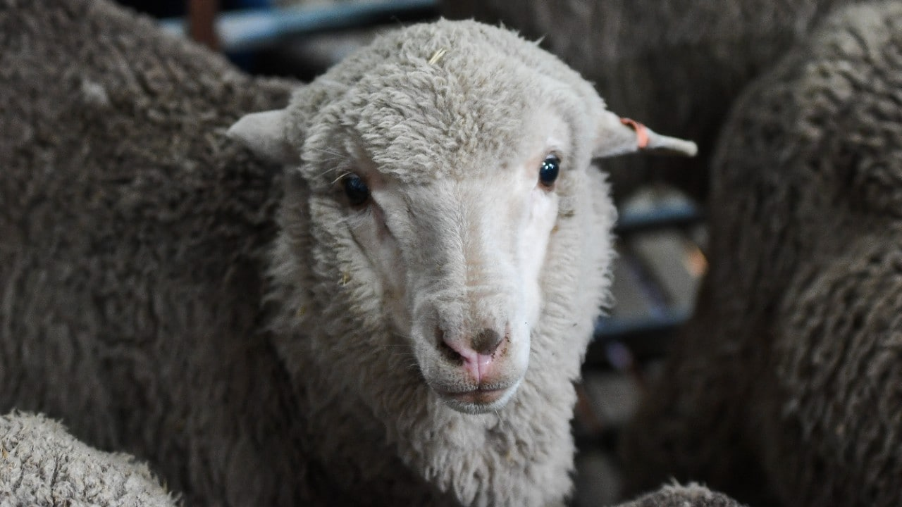 Merino lamb born in 2018 from 50 year old semen stored at the University of Sydney. Photo: Morgan Hancock