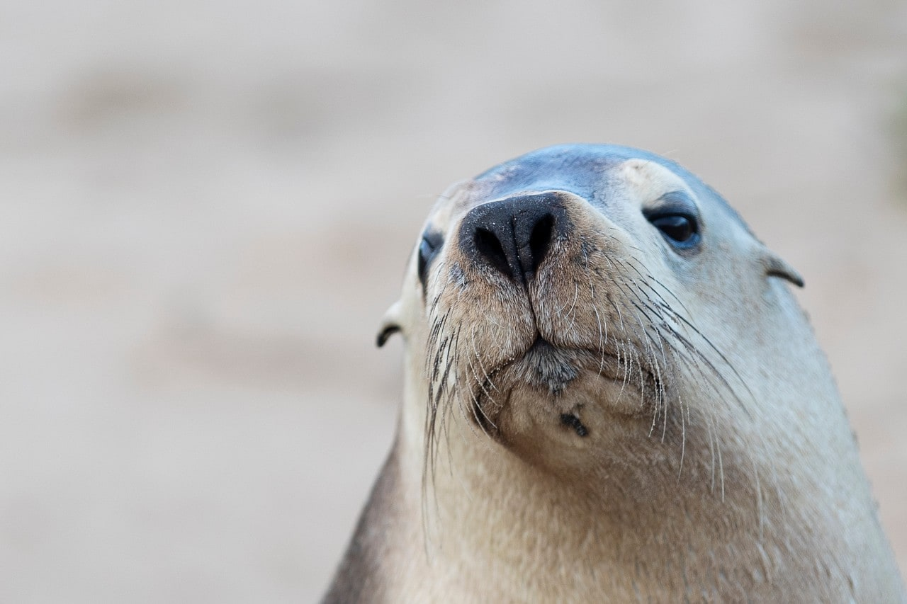 A sea lion at Seal Bay, Kangaroo Island.