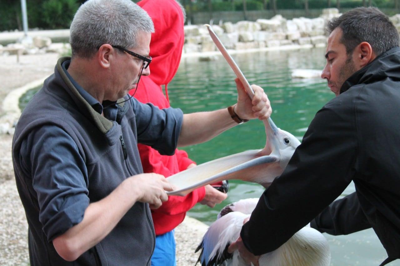 Lorenzo Crosta examining a pelican