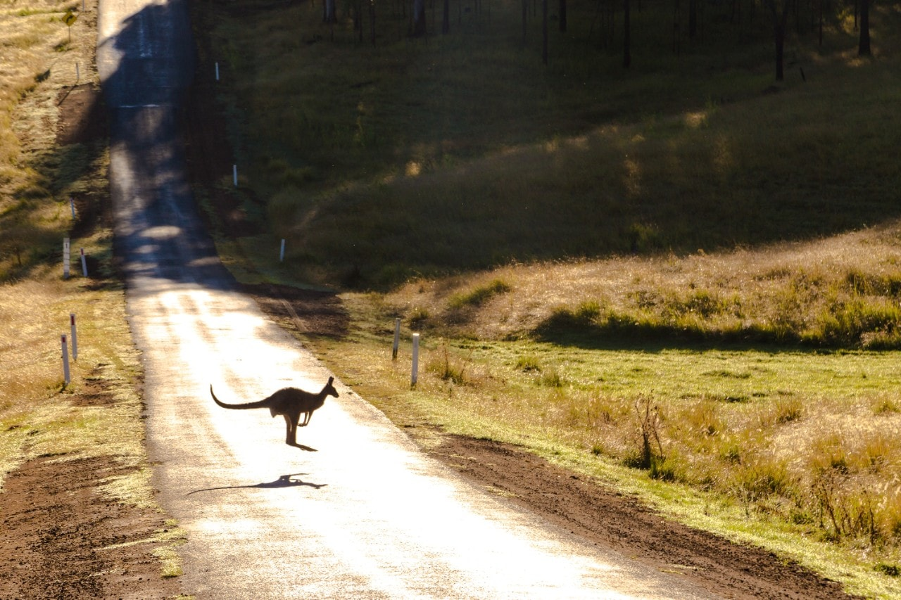 Photo of a kangaroo bouncing across a quiet country road in Australia