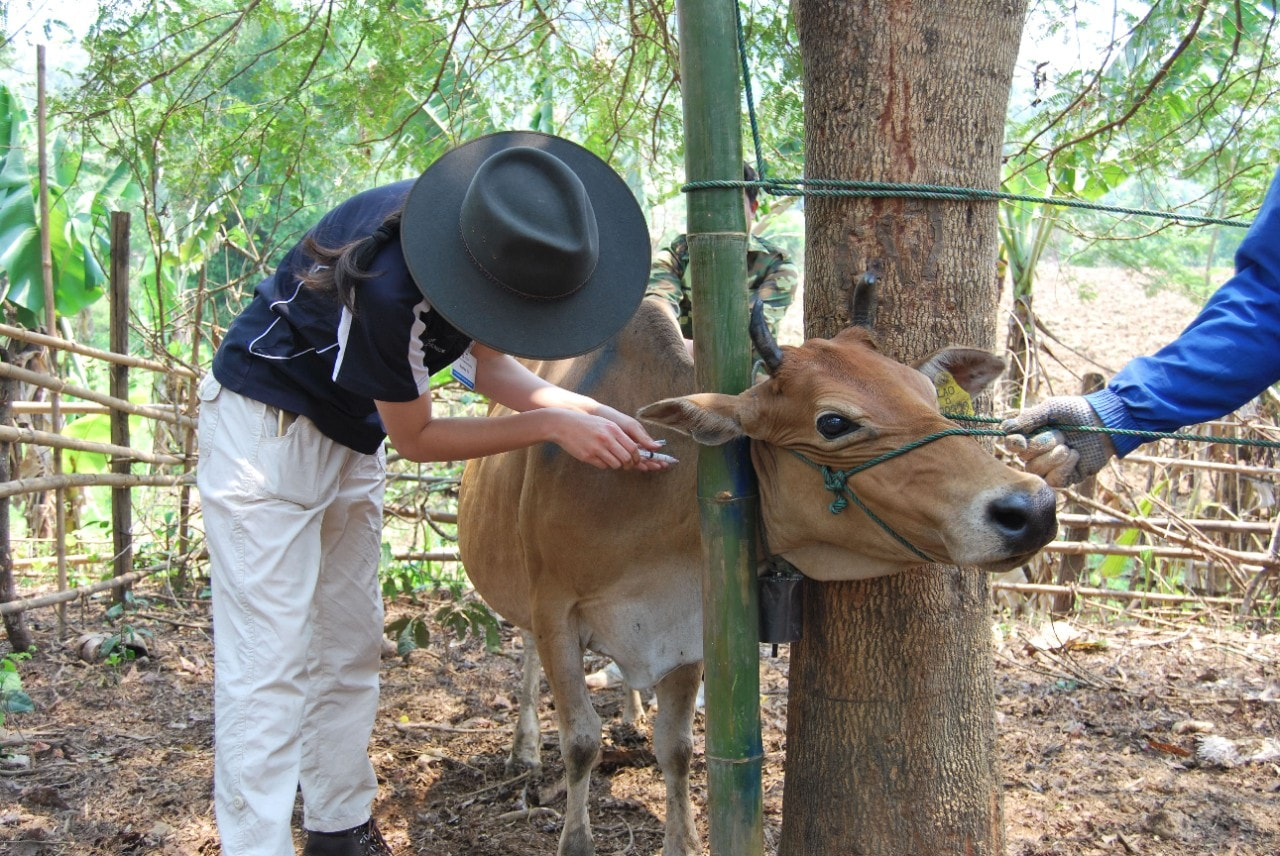 Immunising cattle in Laos.