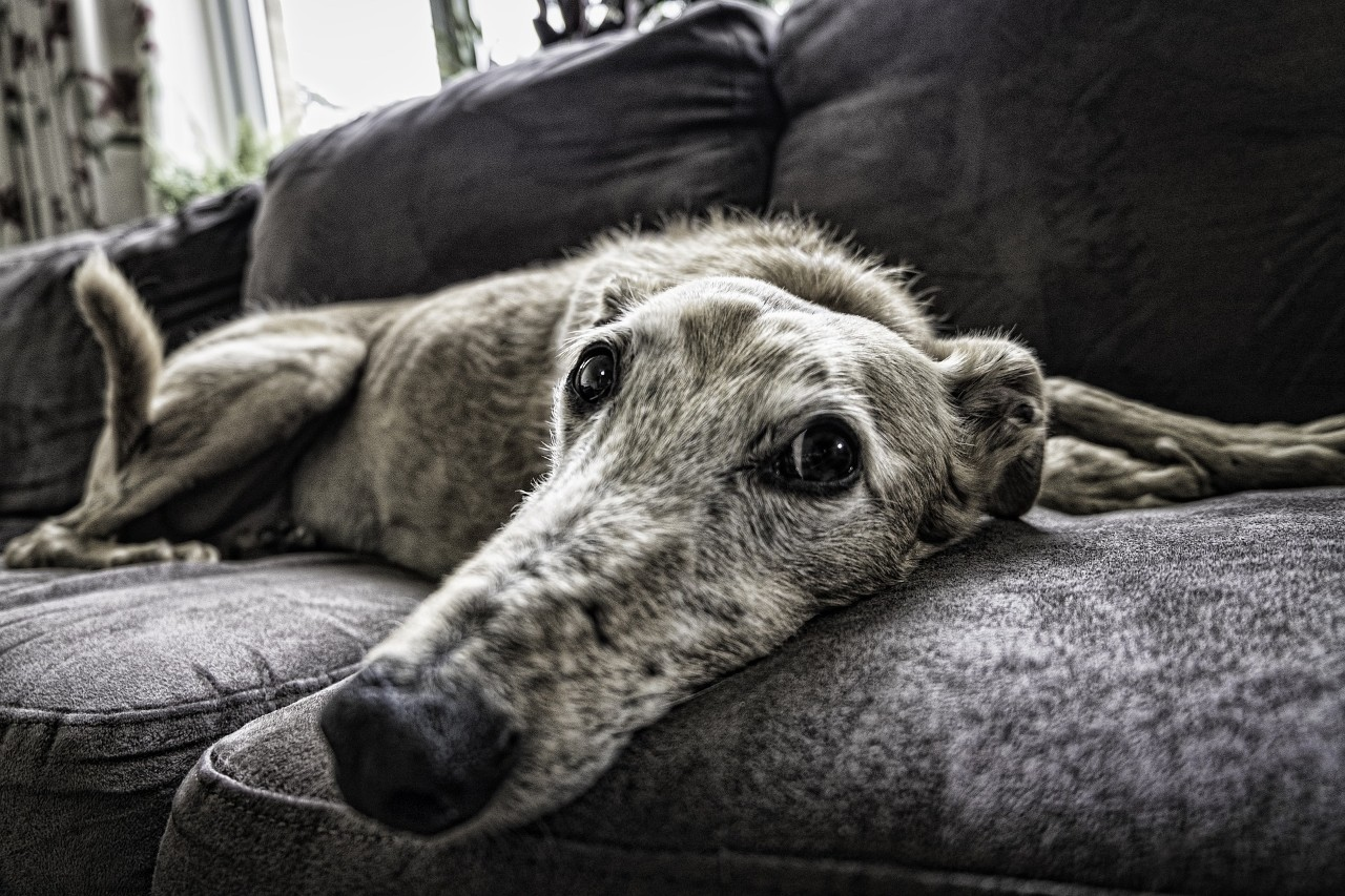 Photo of a large dog on the couch