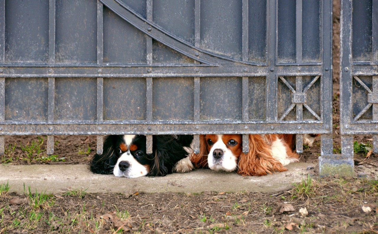 Photo of two dogs left alone with their noses pressed under the fence