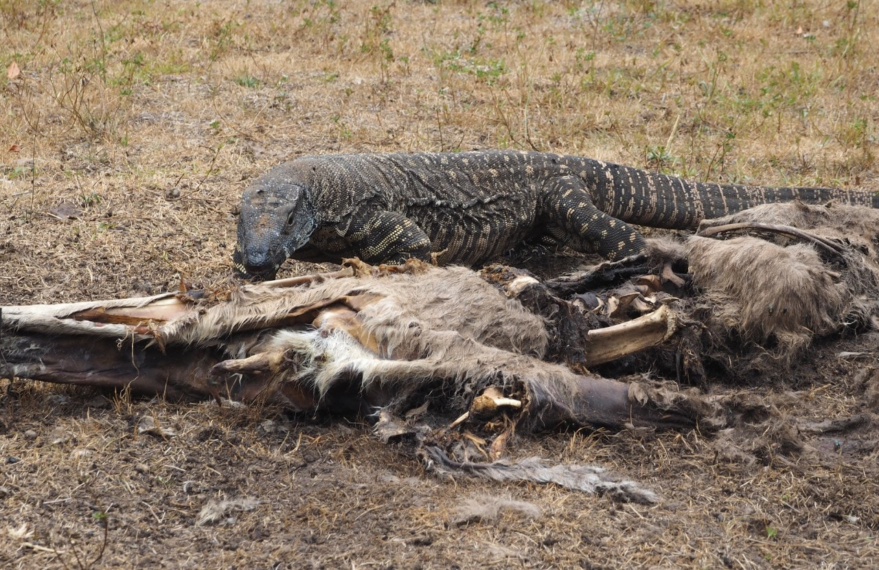 Photo of a goanna feeding on a dead animal.