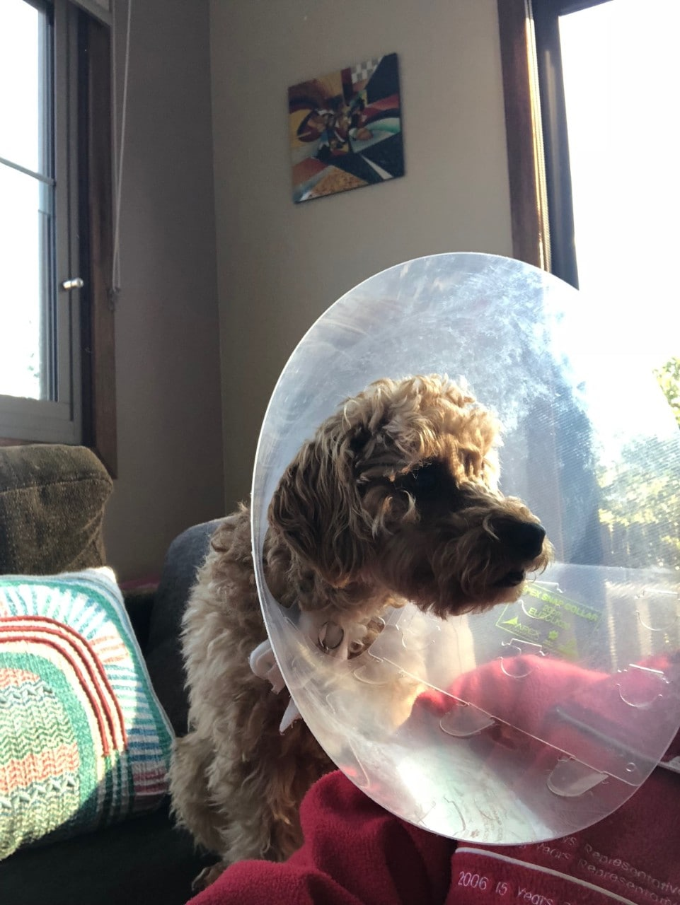 Photo of a small dog wearing a very large plastic cone