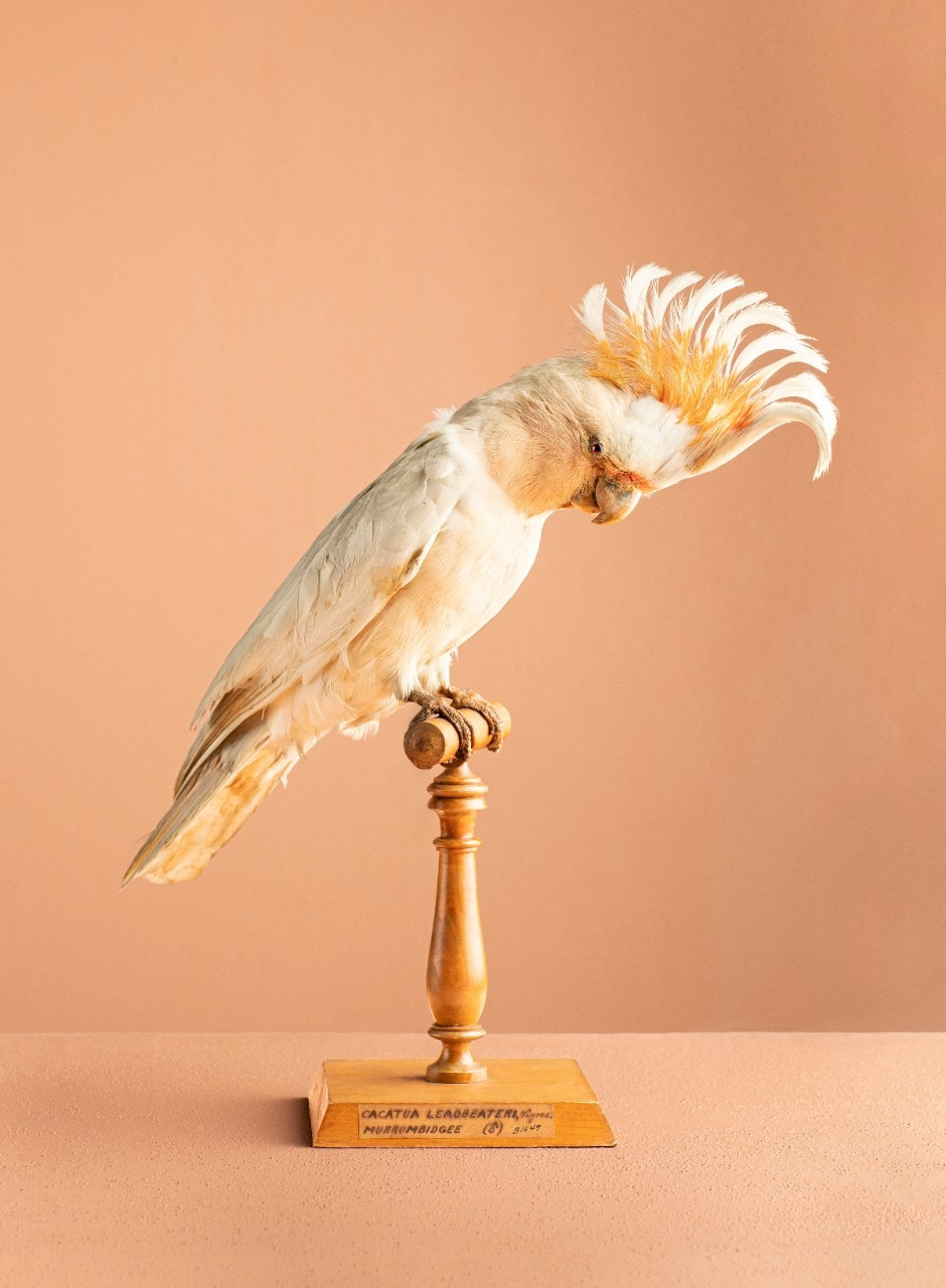 Image of a taxidermied cockatoo perched on a stand which will feature in the Natural Selection exhibition