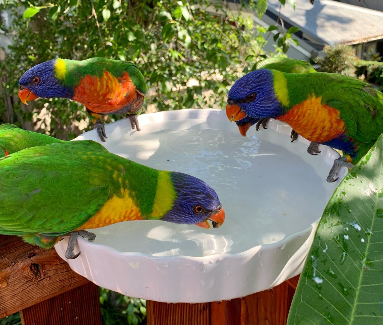 photo of a rainbow lorikeets drinking water from a birdbath