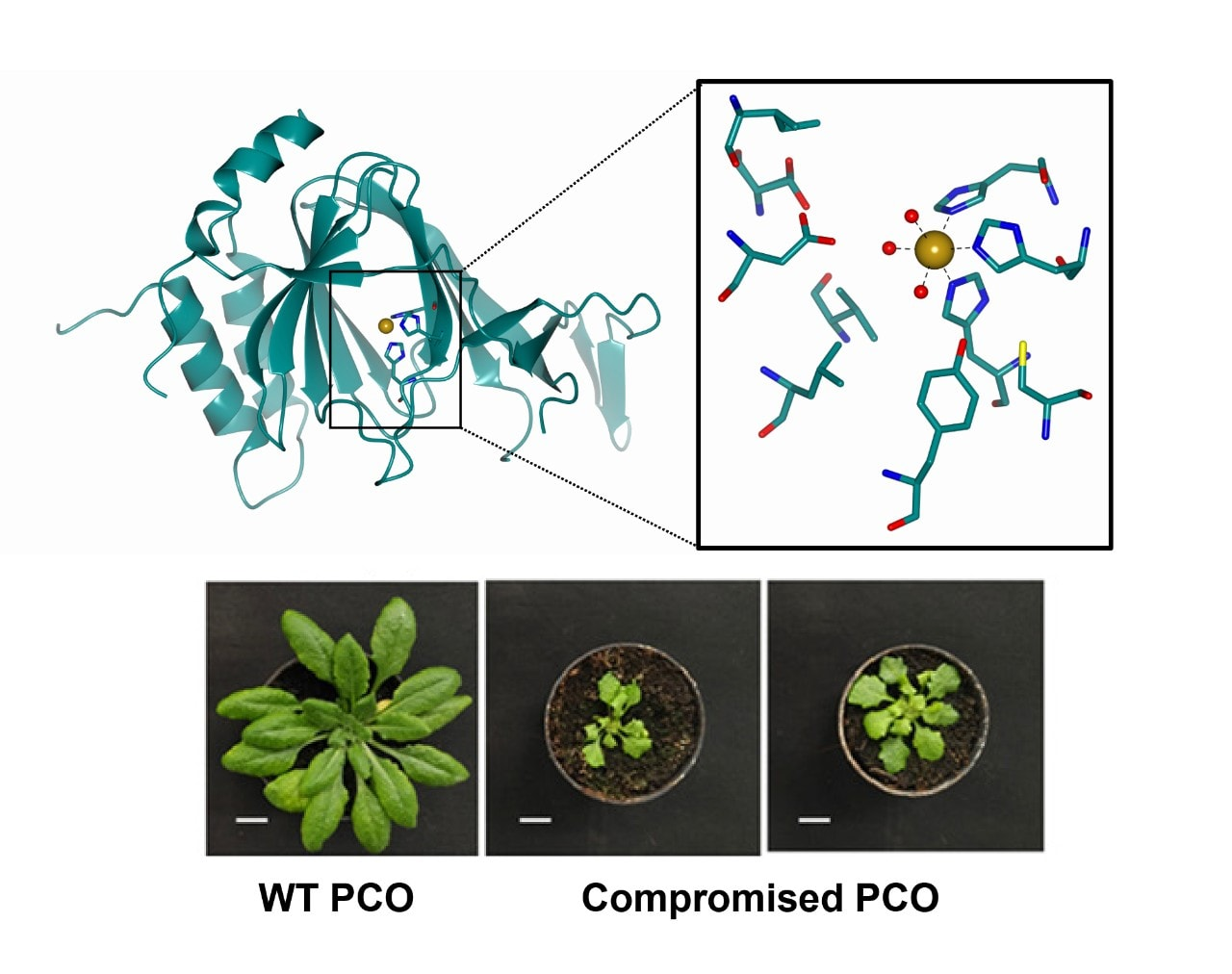 Crystal structure of PCO4, with comparison of 'wild type' (WT) crop and affected crop.