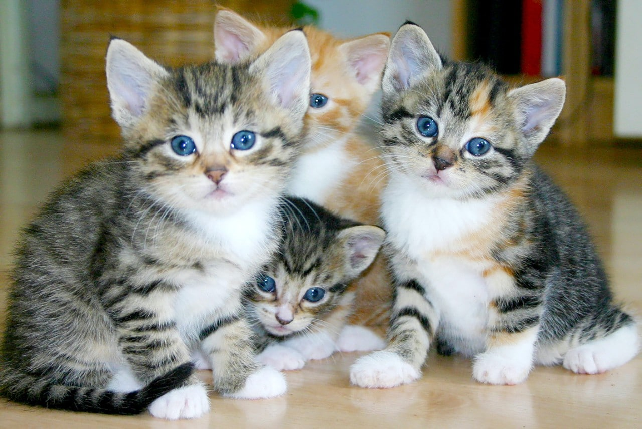 Photo of four grey kittens all looking at the camera
