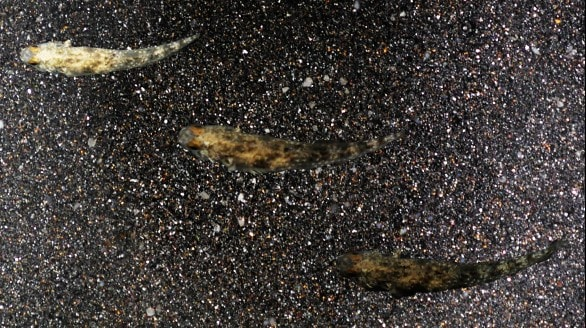 A goby camouflaging.