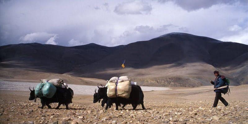 A man with cows carrying baggage